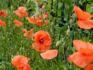 Poppies on the Somme battlefield, Moeuvres